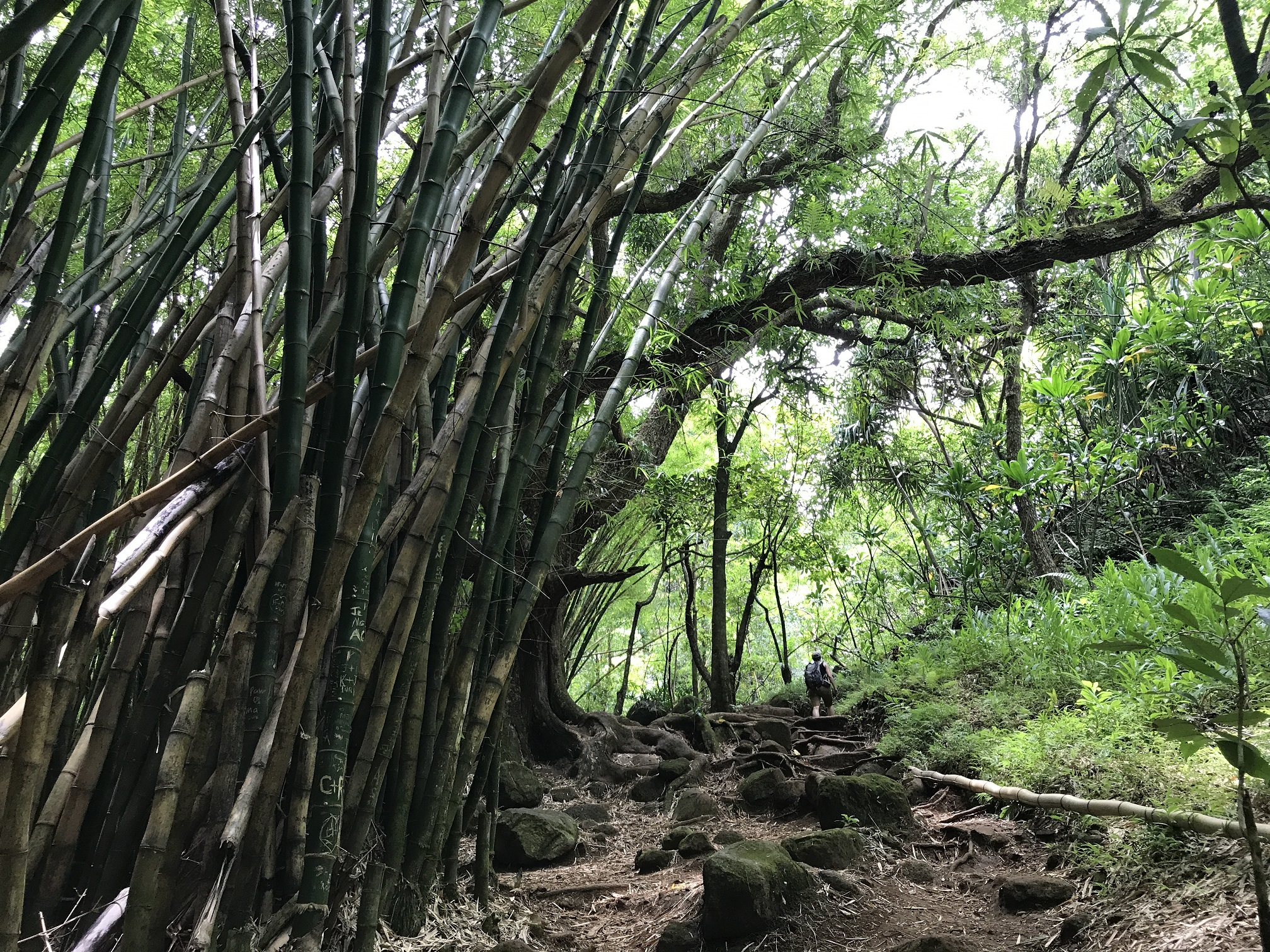 Forêt de bambous sur le sentier vers Hanakapi'ai Falls